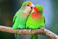 16 Cara Ternak Burung Lovebird Mudah Di Pahami [ TERLENGKAP ]
