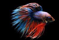 √ Cara Budidaya Ikan Cupang Terlengkap