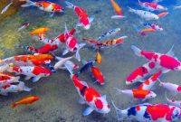 √ 11 Cara Mudah Budidaya Ikan Koi Terlengkap