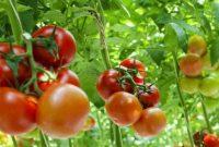 √ Cara Mudah Menanam Tomat Yang Mudah dan Benar Agar Menghasilkan Buah Yang Lebat Terlengkap