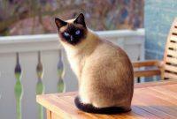 √ Cara Budidaya Kucing Anggora Terlengkap