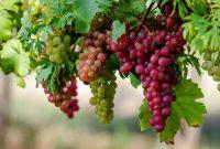 √ 6 Cara Budidaya Buah Anggur Terlengkap