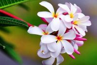 √ 4 Cara Budidaya Bunga Kamboja Terlengkap