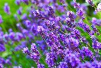 √ 6 Cara Menanam Bunga Lavender Terlengkap
