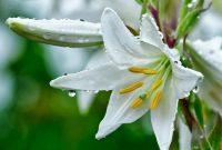 √ 6 Cara Budidaya Bunga Lily Terlengkap