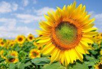 √ 7 Cara Menanam Bunga Matahari Terlengkap