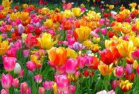 √ Cara Menanam Bunga Tulip Terlengkap