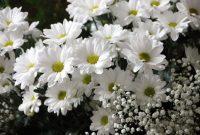 √ 13 Cara Menanam Bunga Aster Terlengkap