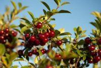 √ 5 Cara Menanam Buah Cherry Terlengkap