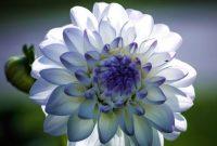 √ 6 Cara Menanam Bunga Dahlia Terlengkap