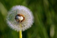 √ 5 Cara Menanam Bunga Dandelion Terlengkap