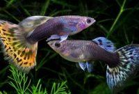 √ 7 Cara Budidaya Ikan Guppy Terlengkap