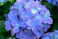 √ 5 Cara Menanam Bunga Hortensia Terlengkap