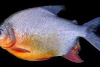 √ 6 Cara Budidaya Ikan Bawal Terlengkap