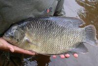 √ 11 Cara Budidaya Ikan Gurami Terlengkap