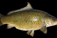 √ 7 Cara Budidaya Ikan Mas Terlengkap