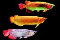 √ 6 Cara Budidaya Ikan Arwana Terlengkap