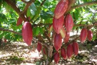 √ 5 Cara Menanam Buah Kakao atau Coklat Terlengkap
