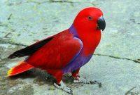 √ 9 Cara Budidaya Burung Nuri Kepala Merah Terlengkap