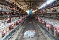 √ 8 Cara Budidaya Ayam Petelur Terlengkap