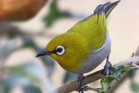 √ 6 Cara Budidaya Burung Pleci Terlengkap