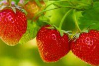 √ 6 Cara Menanam Buah Strawberry Terlengkap